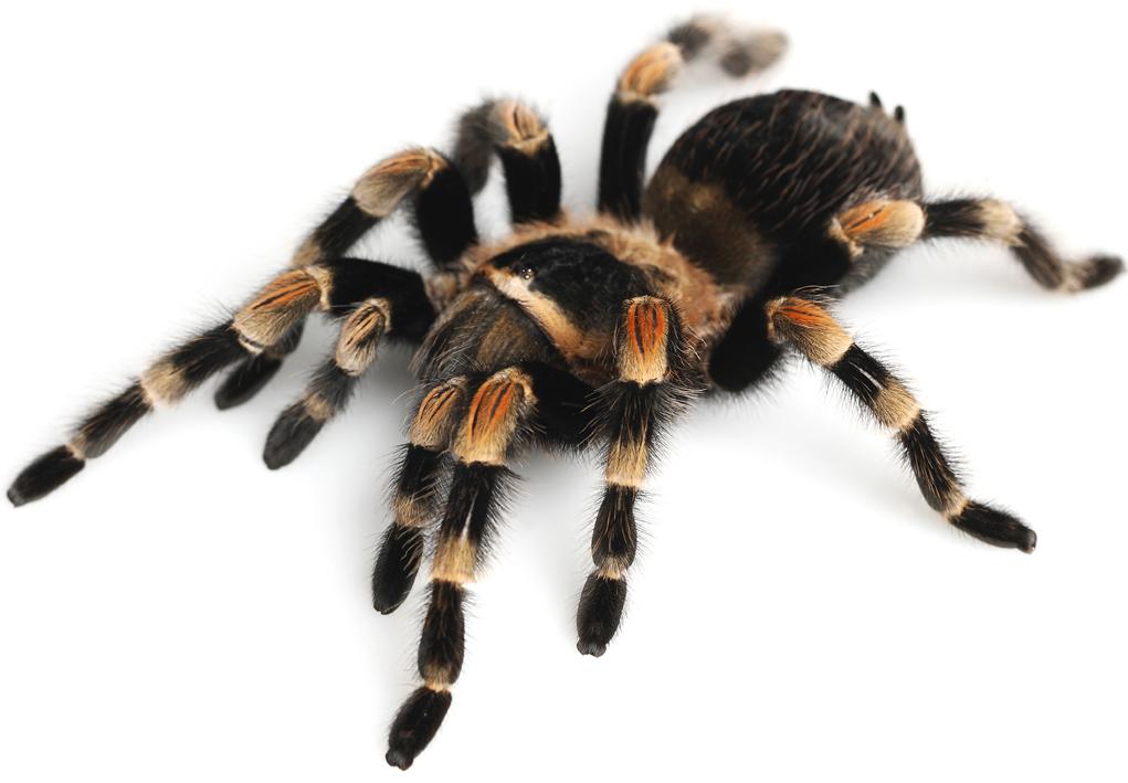 Spiders i pi grandi ragni del mondo for Grandi pavimenti del garage