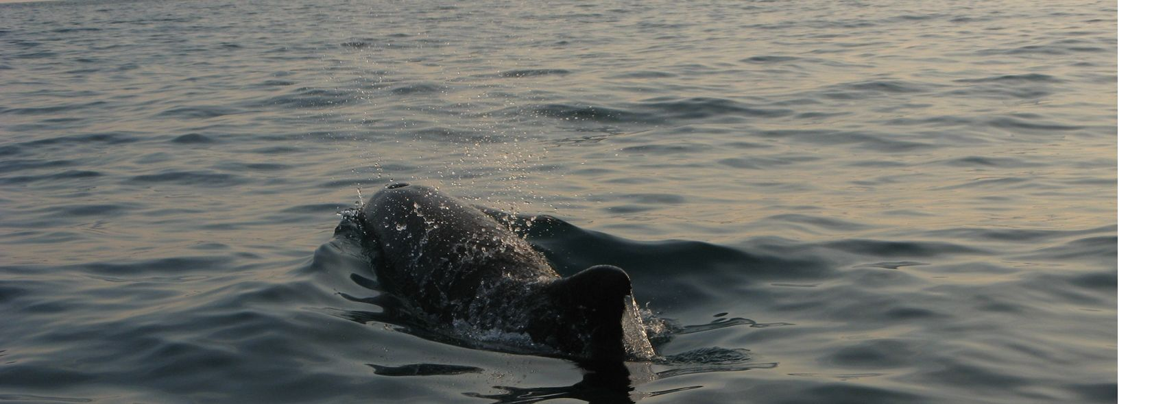 Avvistamento cetacei: globicefalo - foto: Daniela Corriga